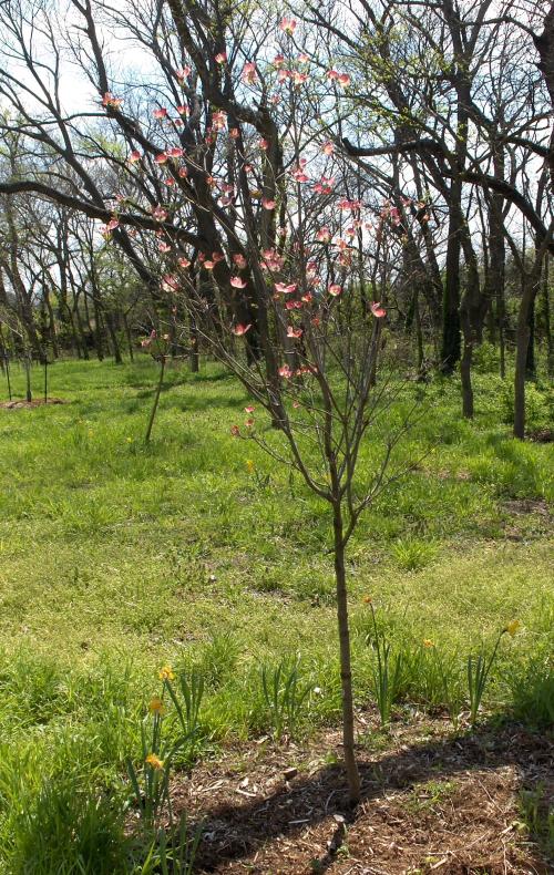 2020Apr14 - Prairie Pink Dogwood planted 2019May28 - far