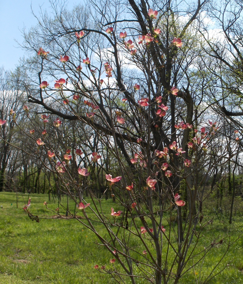 2020Apr14 - Prairie Pink Dogwood planted 2019May28 - near
