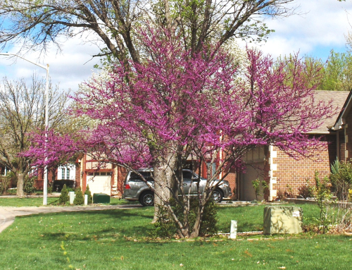Redbuds in front - 2