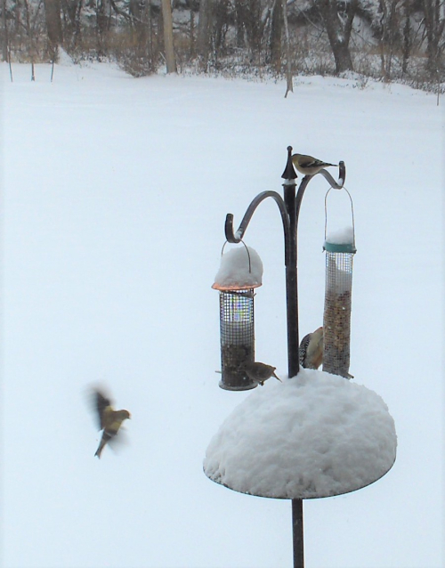 2021Jan1 - Goldfinch on Approach