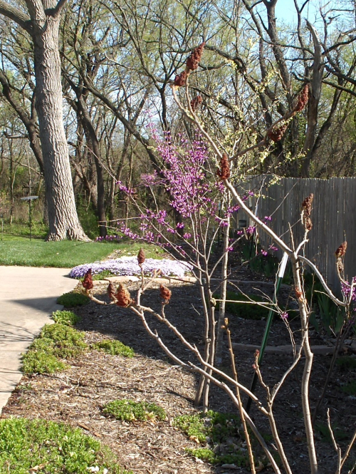 2021-4-8 Redbud damaged by falling trees in 2020