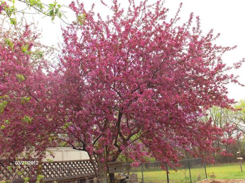 Our crabapple
