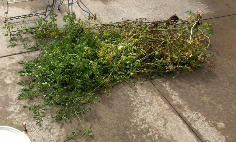 2020Sep23 - Large Tomato Plant Pulled