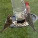 2020Dec23 - N Cardinal & female Purple Finches
