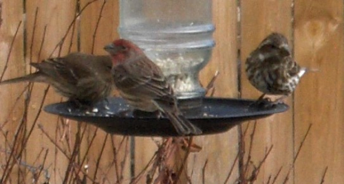 2020Dec23 - female Purple Finches & male House Finch