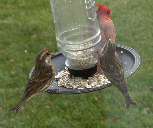 2020Dec23 - N Cardinal & female Purple Finches