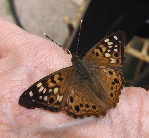 2021-5-23 - Hackberry Butterfly (2)