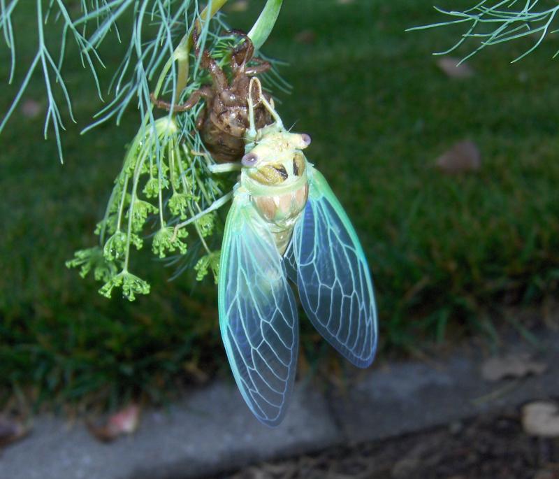 2021-7-16 - Cicada  Annual  Newly Emerged