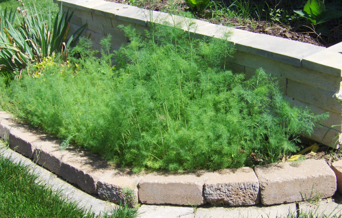 2021Jun3 - Bountiful dill weed