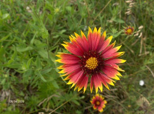 2009Jun13 Blanket Flower